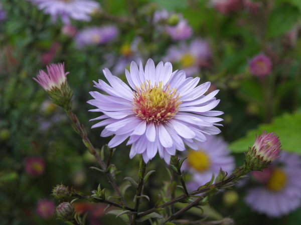 Aster laevis 'Calliope' - Himmels-Aster