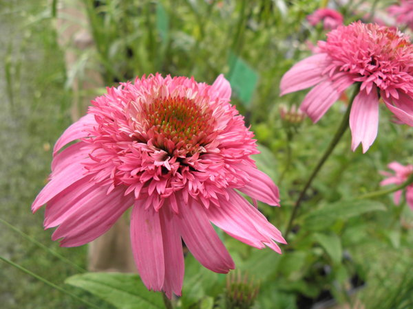 Echinacea purpurea 'Pink Double Delight' - Purpur-Sonnenhut