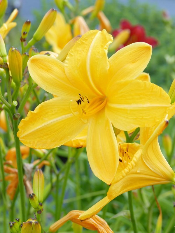 Hemerocallis 'Cartwheels' - Taglilie