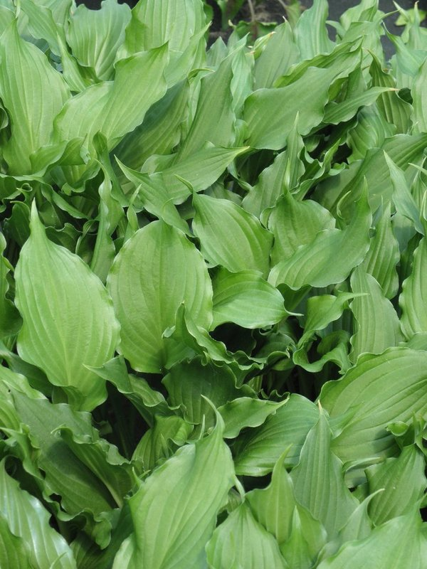 Hosta 'Bridegroom' - Funkie