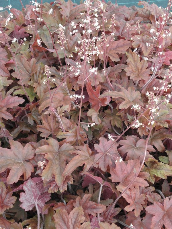Heucherella 'Red Rover' - Purpurglöckchen