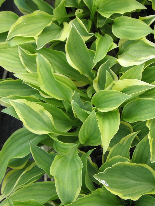 Hosta 'Golden Tiara' - Funkie