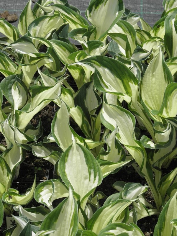 Hosta 'Fire and Ice' - Funkie
