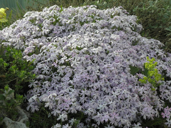 Phlox subulata 'Emerald Cushion Blue' - Teppich-Phlox