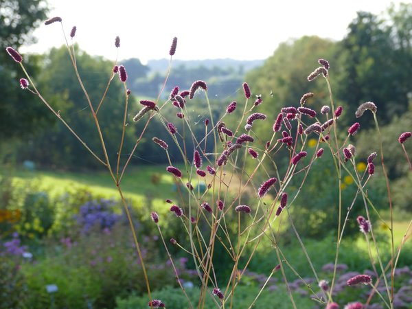 Sanguisorba 'Can Be Raspberry' - Wiesenknopf